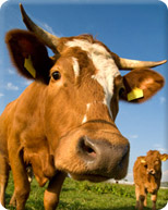 close up of a cow looking into the camera lens, with another cow in the backgound