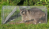 a raccoon trapped in a humane trap outdoors