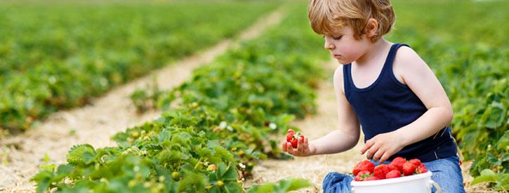 child picking strawberries at a u-pick farm